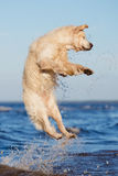 Cane felice di golden retriever al mare Fotografia Stock