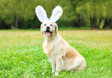 Cane felice di golden retriever con le orecchie di coniglio che si siedono sull'erba Fotografie Stock