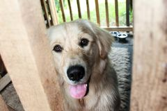 Cane felice di golden retriever nella sua casa di legno Fotografia Stock Libera da Diritti