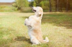 Cane felice di golden retriever su erba che sta sulle sue gambe posteriori Immagini Stock