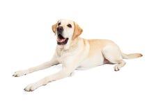 Cane felice di Labrador che si situa per parteggiare immagine stock libera da diritti