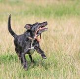 Cane felice sano che gioca con il suo giocattolo. fotografia stock libera da diritti