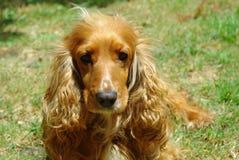 Cane femminile dello spaniel di cocker Immagine Stock Libera da Diritti