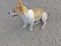 Cane femminile di Bea Jack Russell fotografia stock libera da diritti