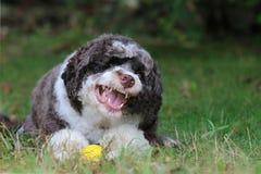 Cane feroce gli che mostra i denti del ` s fotografia stock