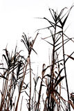 Cane field. Abstract view of cane Stock Photos