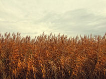 Cane field Royalty Free Stock Image
