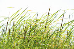 Cane field on windy day. Cane field background Stock Image