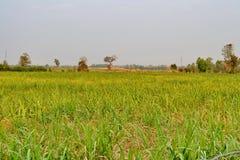 Cane fields Stock Image
