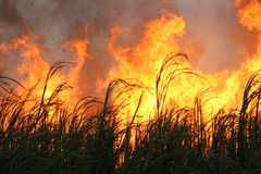 Cane fire. Burning cane to send to mill royalty free stock photo
