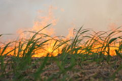 Cane fire. Sugar cane field burns stock image
