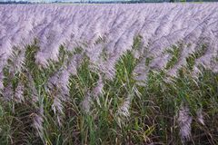 Cane flowers. A field of sugar cane in flower before harvest Royalty Free Stock Images