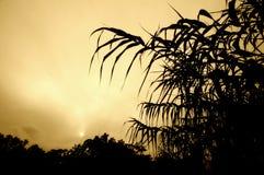 cane foliage sugar sunset Στοκ Εικόνες