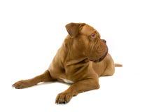 Cane francese del mastiff fotografie stock libere da diritti