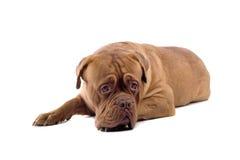 Cane francese del mastiff fotografie stock