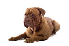 Cane francese del mastiff immagini stock
