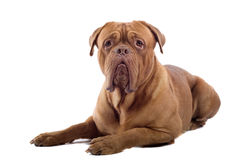 Cane francese del mastiff immagini stock libere da diritti