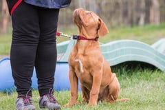 Cane francese del mastino fotografia stock