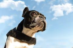 Cane francese del toro Fotografia Stock Libera da Diritti