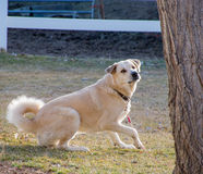 Cane giallo che si alza Fotografie Stock Libere da Diritti