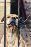 Cane giallo che si siede dietro un recinto fotografia stock libera da diritti
