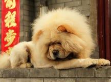 Cane giallo del cibo su un fondo dei simboli cinesi Fotografia Stock