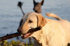 Cane giallo di Labrador con il bastone Immagine Stock