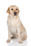 Cane giallo di labrador retriever Fotografie Stock
