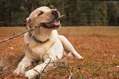 Cane giallo di labrador retriever che mastica bastone Fotografie Stock
