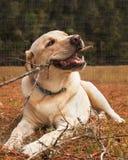 Cane giallo di labrador retriever che mastica bastone Fotografie Stock Libere da Diritti