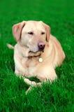 Cane giallo dorato del Labrador su erba Immagini Stock