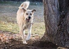 Cane giallo felice Immagine Stock