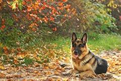 Cane in giallo, fogli di colore rosso Fotografia Stock