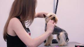 Cane governare Pet i peli di spazzolatura del ` s del cane del Groomer con il pettine al salone video d archivio