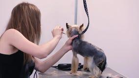 Cane governare Pet i peli di spazzolatura del ` s del cane del Groomer con il pettine al salone archivi video