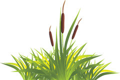 Cane with grass. Isolated on the white. Illustration Royalty Free Stock Images