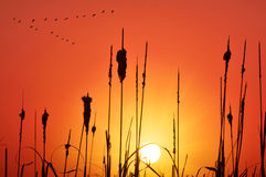 Cane and grassland silhouette at sunset Royalty Free Stock Images