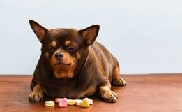 Cane grasso della chihuahua annoiato del fronte, sedendosi sullo scrittorio Immagine Stock