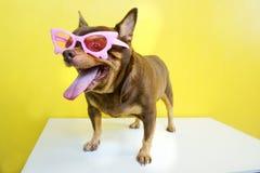 Cane grasso della chihuahua che indossa un rosa glassed Immagini Stock Libere da Diritti