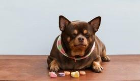 Cane grasso della chihuahua, sedentesi sullo scrittorio Immagine Stock
