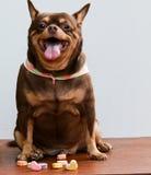 Cane grasso della chihuahua, sedentesi sullo scrittorio Fotografia Stock