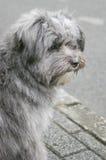 Cane grigio Fotografie Stock Libere da Diritti