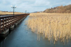 Cane grows near the wooden bridge with lanterns. Cane grows  in a pond near a wooden bridge Stock Photography