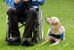 Cane guida di Labrador ed il suo proprietario disabile immagine stock libera da diritti