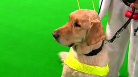 Cane guida e donna cieca isolati su verde video d archivio
