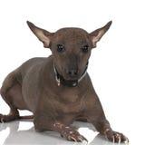 Cane Hairless peruviano immagini stock libere da diritti