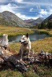 Cane: Heeler rosso nelle alte montagne Fotografia Stock