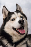 Cane husky piacevole Fotografia Stock