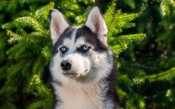 Cane, husky, razza del cane, animale domestico, amico della famiglia, cane, laika fotografia stock libera da diritti