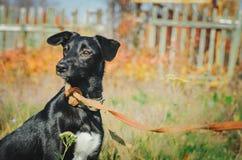Cane ibrido nero sveglio con un guinzaglio fotografie stock